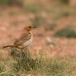 roodstuittapuit-red-rumped-wheatear-01