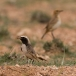 roodstuittapuit-red-rumped-wheatear-02