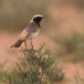 roodstuittapuit-red-rumped-wheatear-03