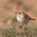 roodstuittapuit-red-rumped-wheatear-07