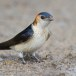 Roodstuitzwaluw - Red-rumped Swallow 03