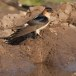 Roodstuitzwaluw - Red-rumped Swallow 04