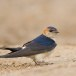 Roodstuitzwaluw - Red-rumped Swallow 05