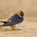 Roodstuitzwaluw - Red-rumped Swallow 06