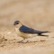Roodstuitzwaluw - Red-rumped Swallow 7