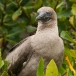 roodvoetgent-red-footed-boobie-02