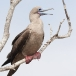 roodvoetgent-red-footed-boobie-05