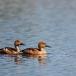rosse-fluiteend-fulvous-whistling-duck-01