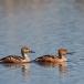 rosse-fluiteend-fulvous-whistling-duck-02