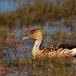 rosse-fluiteend-fulvous-whistling-duck-04