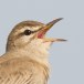 Rosse waaierstaart- Rufous-tailed Bushchat 01