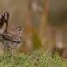 Rosse waaierstaart- Rufous-tailed Bushchat 04