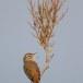 Rosse waaierstaart- Rufous-tailed Bushchat 05