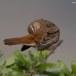 Rosse waaierstaart- Rufous-tailed Bushchat 07