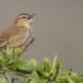 Rosse waaierstaart- Rufous-tailed Bushchat 08