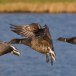 Rotgans  - Brant Goose 11