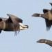 Rotgans  - Brant Goose 17