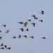 Rotgans  - Brant Goose 18