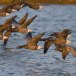 Rotgans  - Brant Goose 21