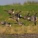 Rotgans  - Brant Goose 22