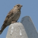 rotsmus-rock-sparrow-04