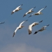 roze-pelikaan-great-white-pelican-02