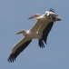 roze-pelikaan-great-white-pelican-03