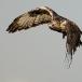 ruigpootbuizerd-rough-legged-buzzard-02
