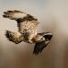 ruigpootbuizerd-rough-legged-buzzard-04