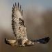 ruigpootbuizerd-rough-legged-buzzard-05