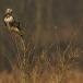 ruigpootbuizerd-rough-legged-buzzard-06