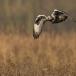 ruigpootbuizerd-rough-legged-buzzard-07