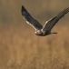 ruigpootbuizerd-rough-legged-buzzard-08