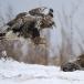 ruigpootbuizerd-rough-legged-buzzard-13