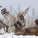 ruigpootbuizerd-rough-legged-buzzard-14