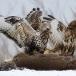 ruigpootbuizerd-rough-legged-buzzard-16