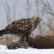 ruigpootbuizerd-rough-legged-buzzard-17