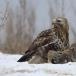 ruigpootbuizerd-rough-legged-buzzard-18