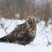 ruigpootbuizerd-rough-legged-buzzard-19