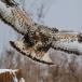 ruigpootbuizerd-rough-legged-buzzard-20