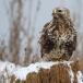ruigpootbuizerd-rough-legged-buzzard-22