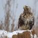 ruigpootbuizerd-rough-legged-buzzard-23