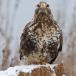 ruigpootbuizerd-rough-legged-buzzard-24