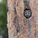 Ruigpootuil-Boreal-Owl-01