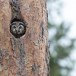 Ruigpootuil-Boreal-Owl-02