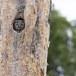 Ruigpootuil-Boreal-Owl-03