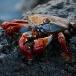 sally-lightfoot-crab-grapsus-grapsus-02