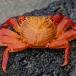 sally-lightfoot-crab-grapsus-grapsus-03