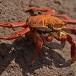 sally-lightfoot-crab-grapsus-grapsus-04