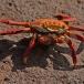 sally-lightfoot-crab-grapsus-grapsus-05